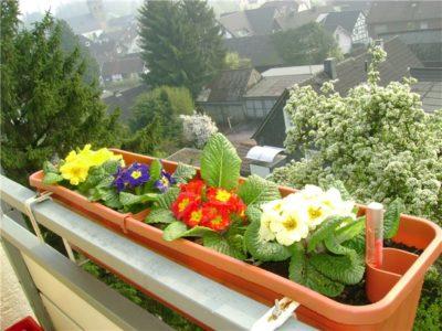 Примула на балконе