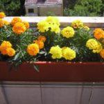 Бархатцы на балконе